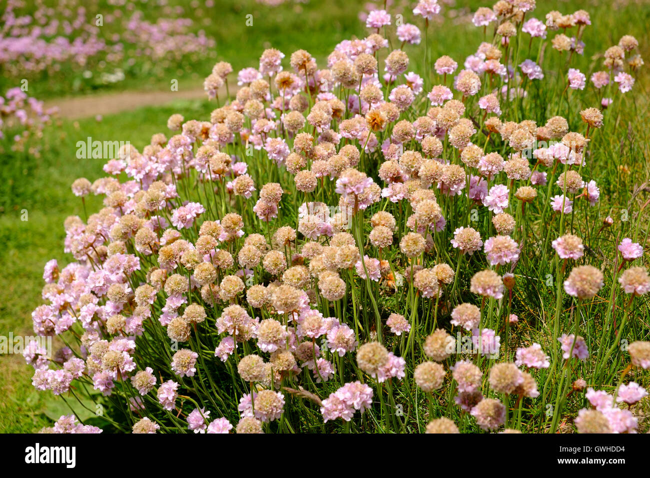 Armeria maritima or Sea Thrift coastal wildflowers flowering in early June, Cornwall, England UK - Stock Image