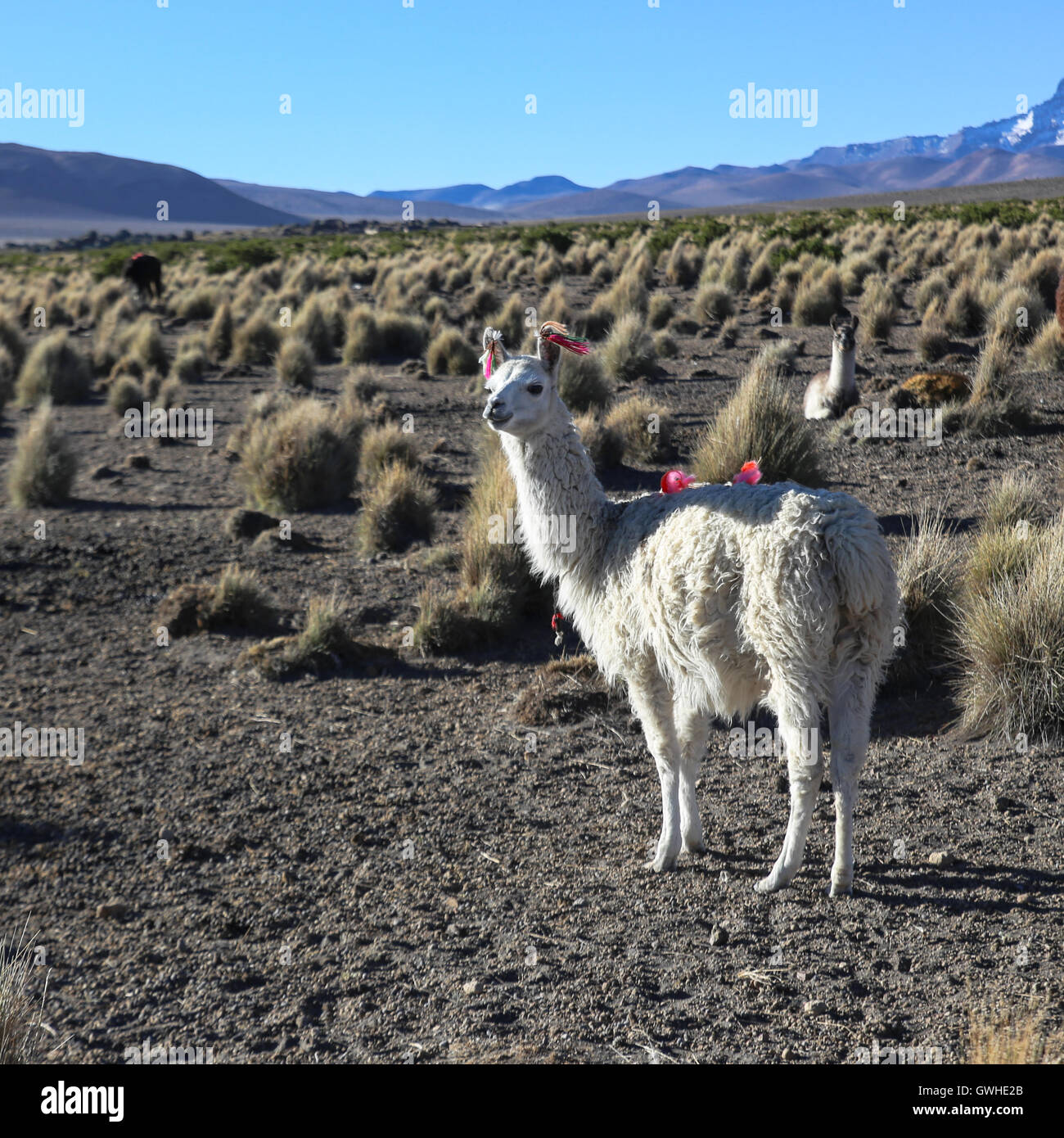 The Andean landscape with herd of llamas on Natural Park of Sajama. Bolivia. - Stock Image
