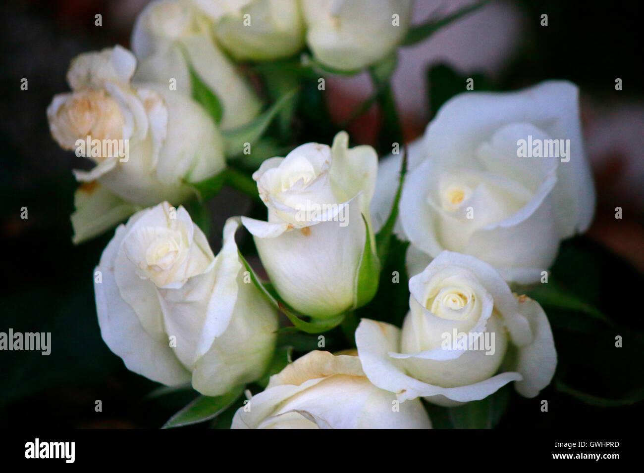 flowers roses white mourning symbolic nature - Stock Image
