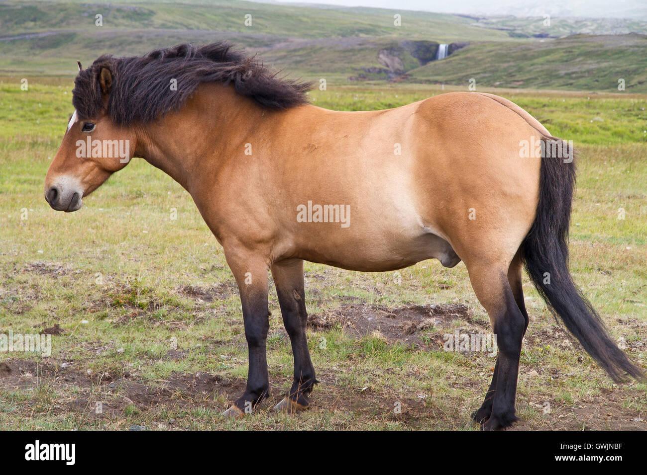 Single icelandic chestnut pony stallion against a wilderness background Stock Photo