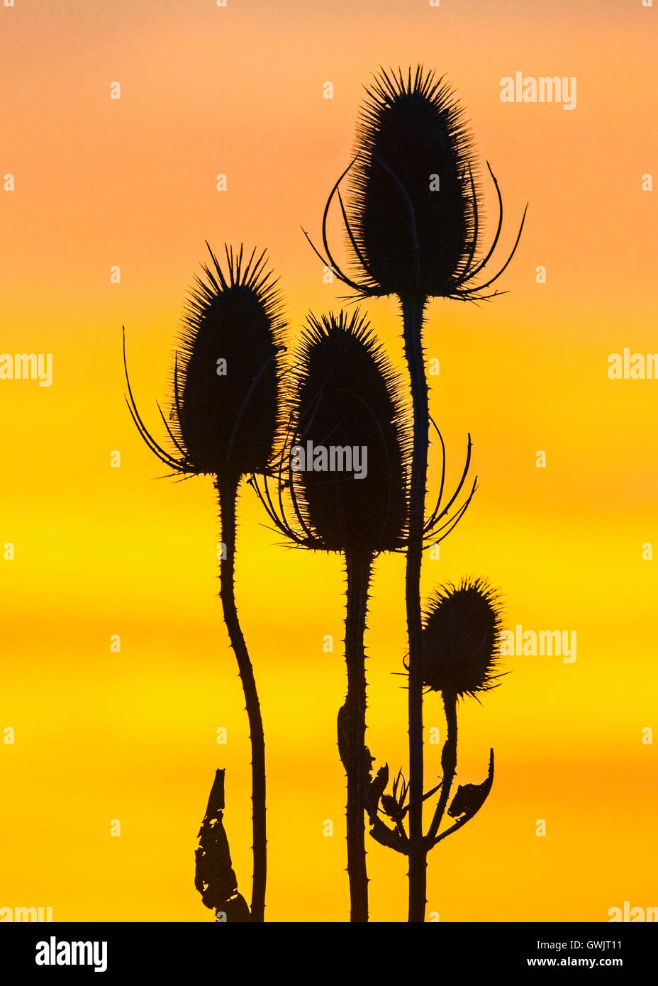 Back lit seed head of Common Teasel  (Dipsacus fullonum), Cambridgeshire - Stock Image