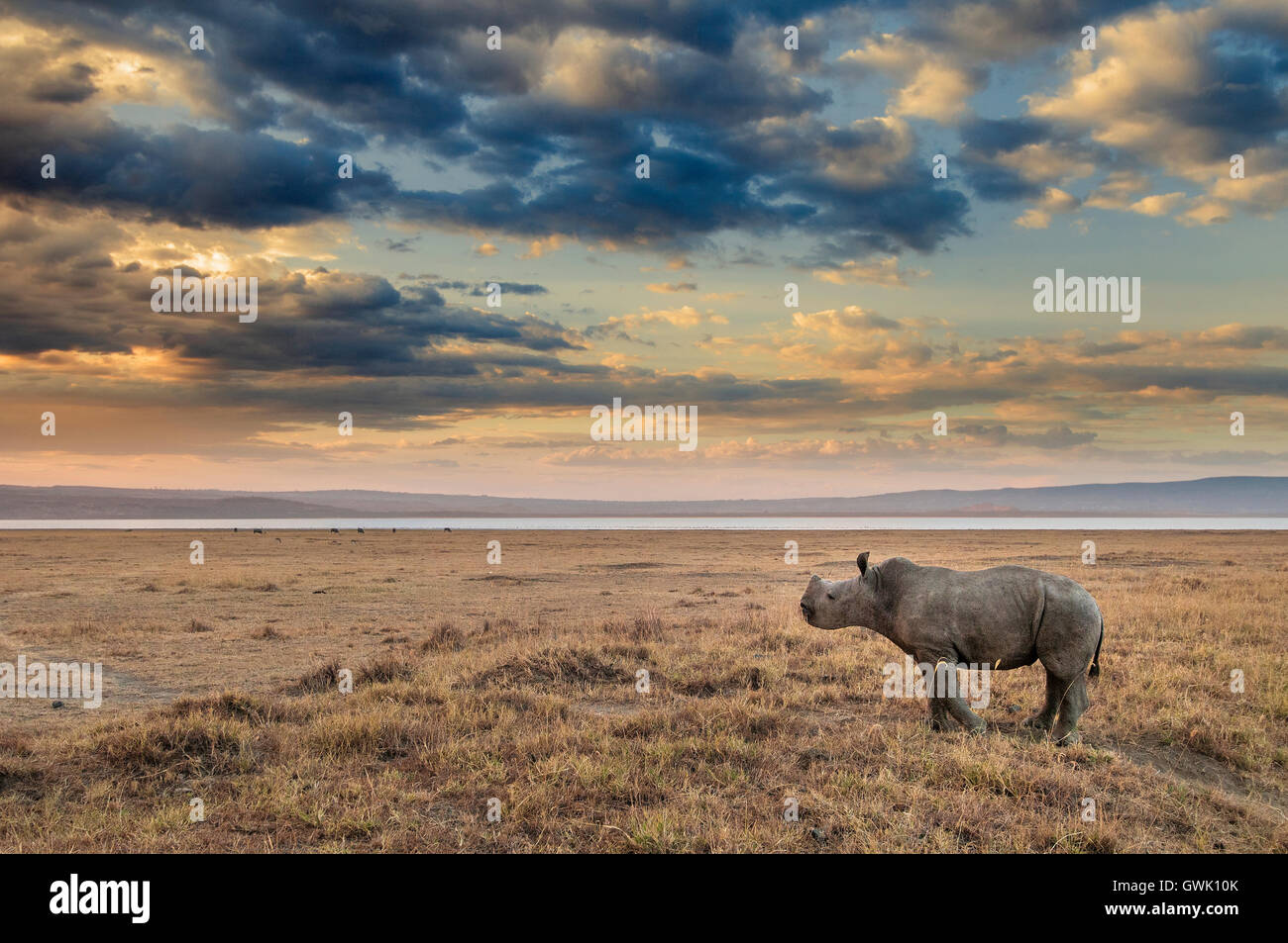 Baby Rhinoceros on the shores of Lake Nakuru, Kenya. Africa. - Stock Image