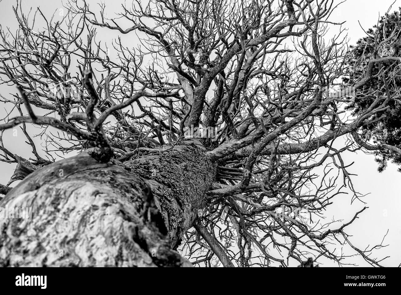 Tree from below - Stock Image