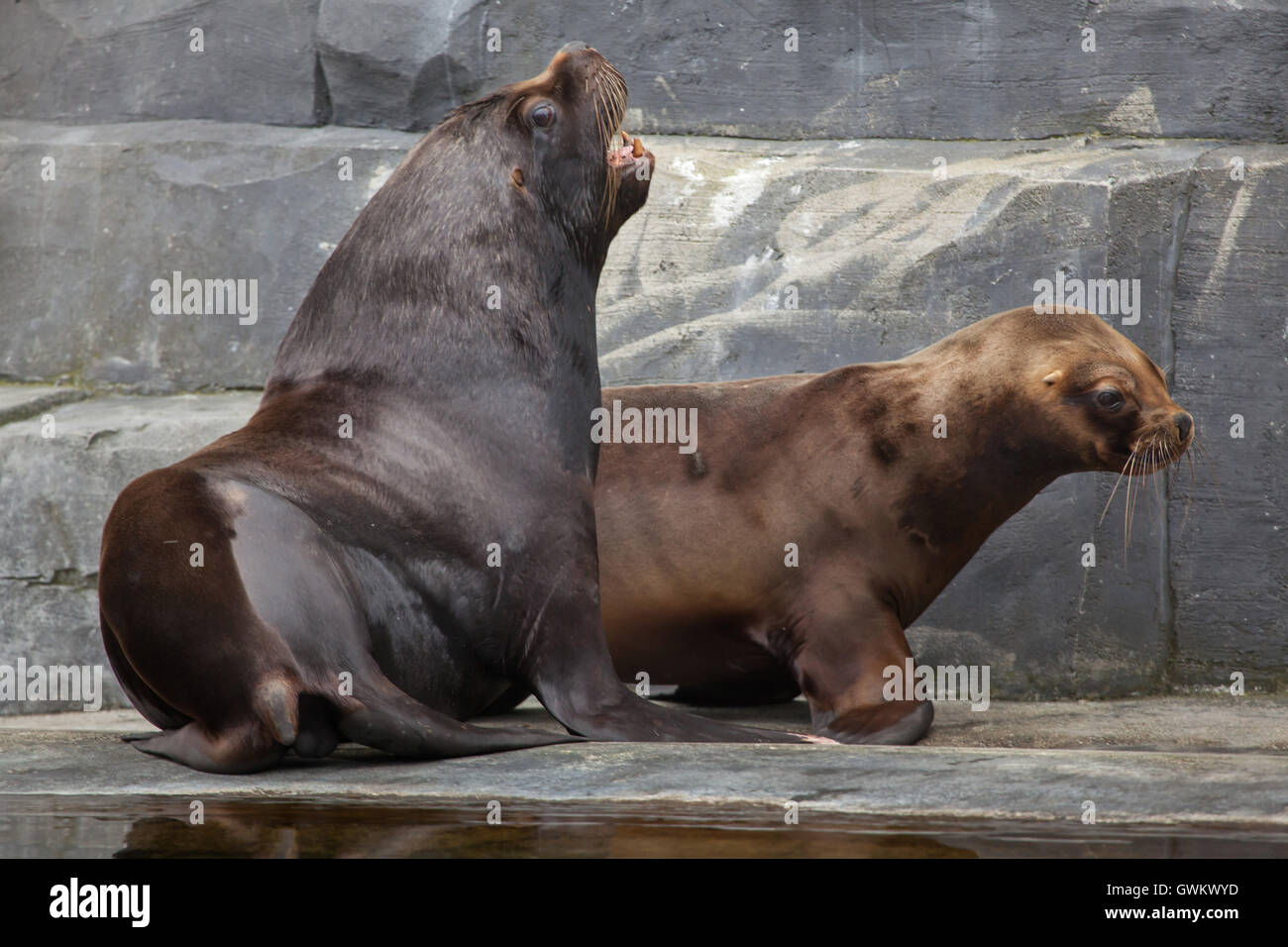 South American sea lions (Otaria flavescens) at Vincennes Zoo in Paris, France. Stock Photo