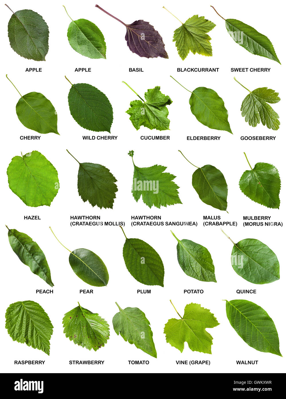 set of green leaves of trees and shrubs with names clip art palm tree plan view clip art palm tree public domain
