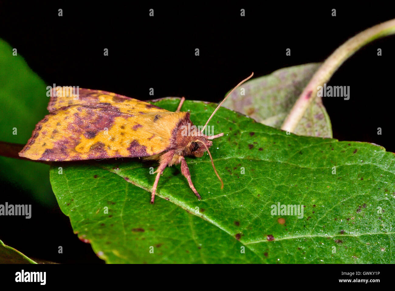 Pink-barred sallow - Stock Image