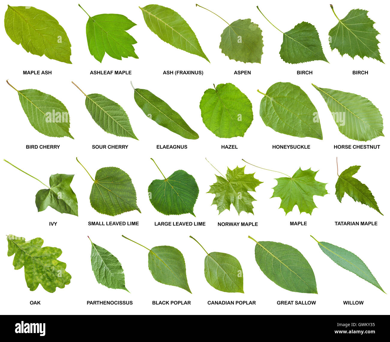 collection of green leaves of trees and shrubs with names isolated on white background Stock Photo