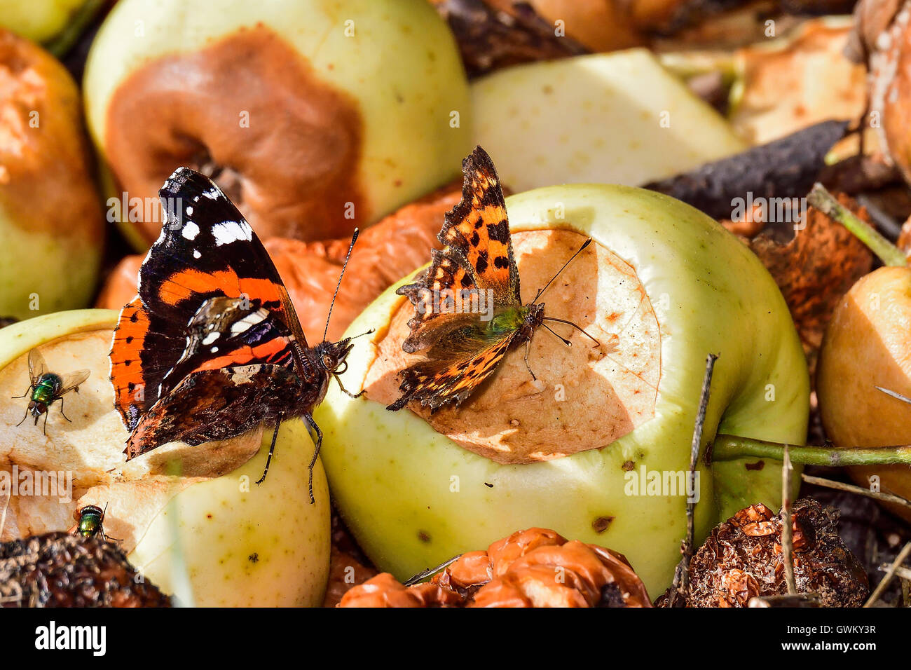 Red Admiral and Comma - Stock Image