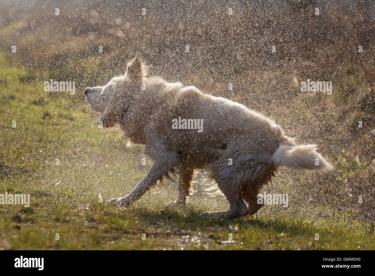 dog shaking water to dry off Stock Photo