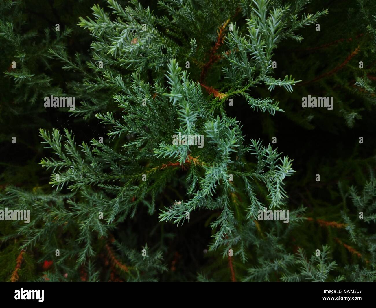 Lawson's Cypress or Chamaecyparis lawsonian - Stock Image