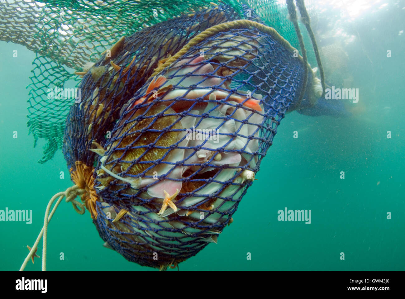 A trawl net, full of fish, as it is hauled to the surface.  Bottom trawling is one of the most widespread, and controversial - Stock Image