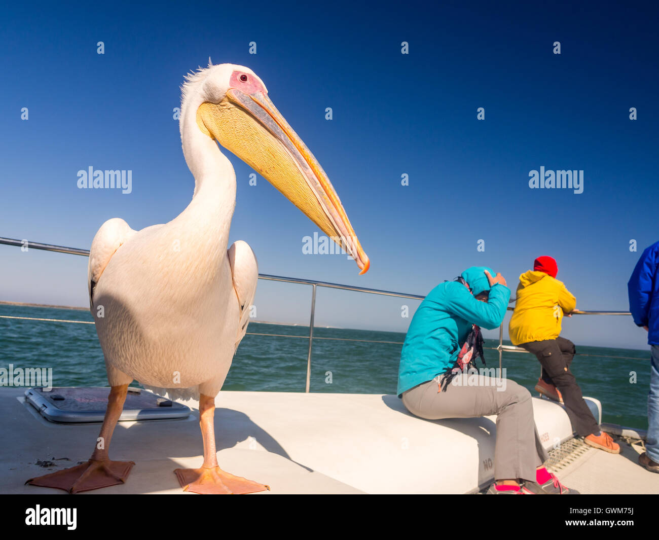 Friendly pelican sitting on a boat next to tourists on a cruise in Walvis Bay. - Stock Image