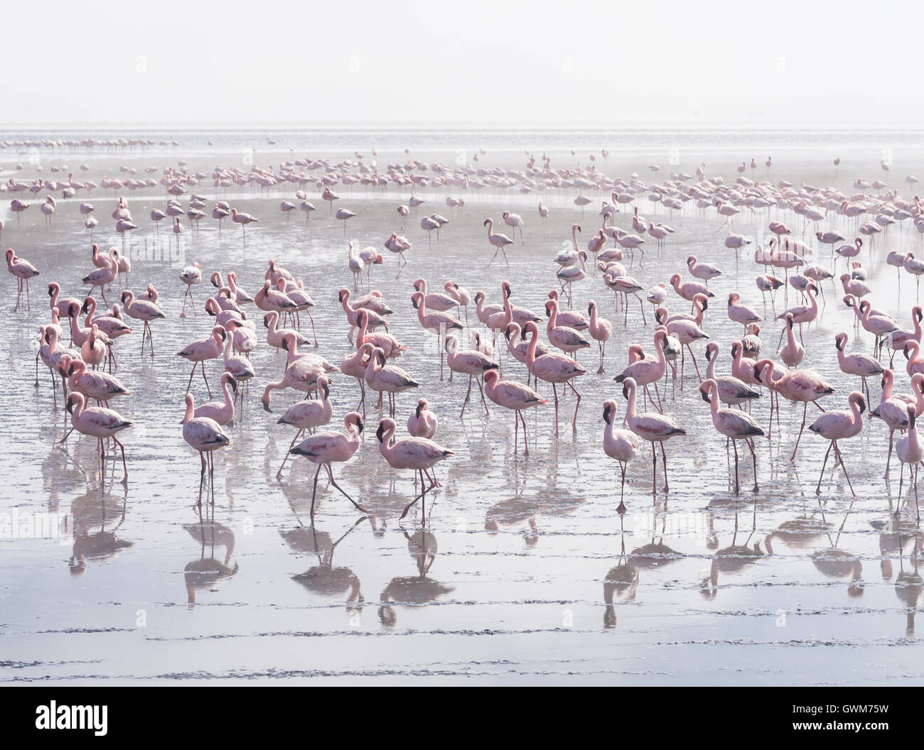 Group of flamingos on Walvis Bay Lagoon. - Stock Image