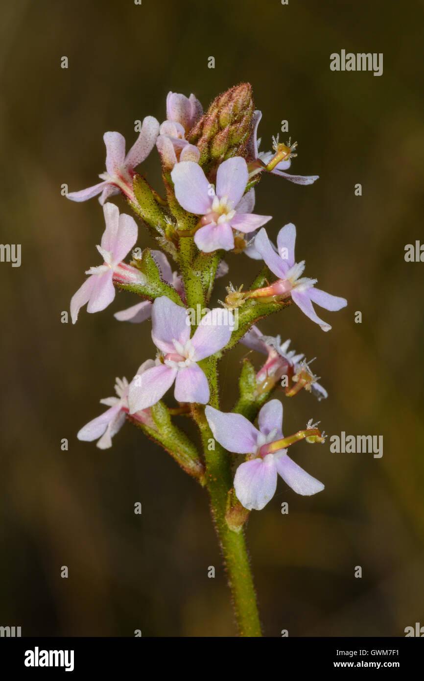 Grass Trigger Plant. - Stock Image