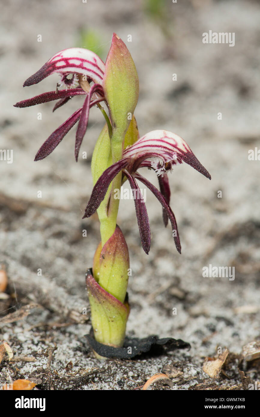 Red Beaks Orchid. Stock Photo