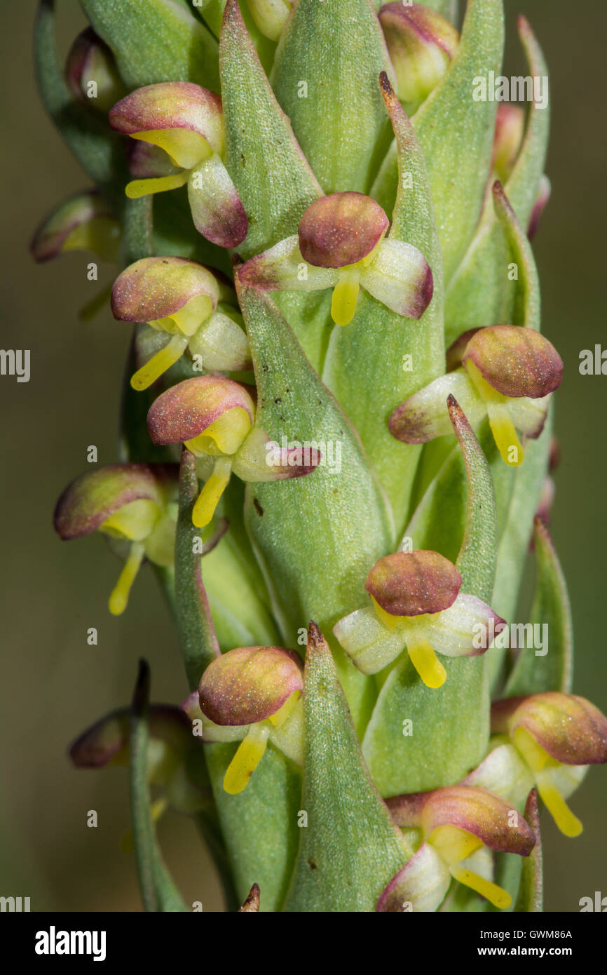 South African Weed Orchid. - Stock Image