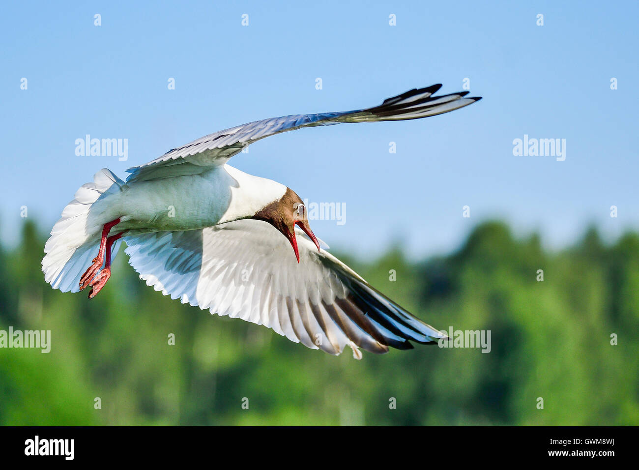 Black-headed gull - Stock Image