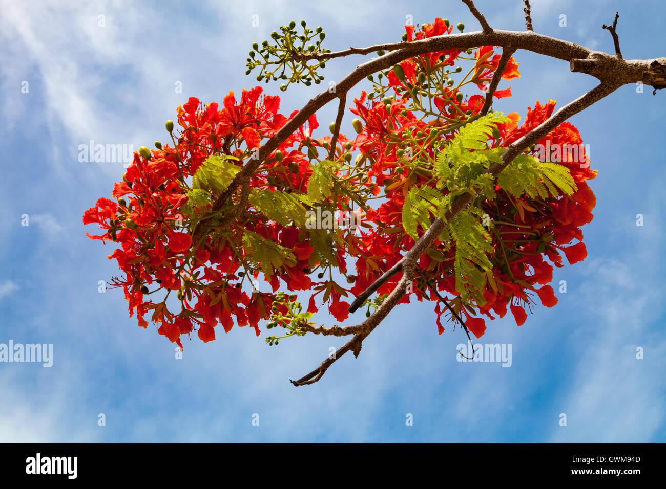 Royal Poinciana Or Famboyant Tree in  Antigua, Antigua and Barbuda - Stock Image