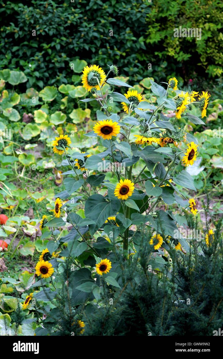 Blooming Sunflowers Bush In Garden Stock Photo Alamy