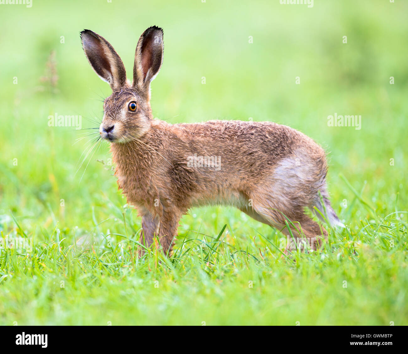 A brown hare in a Summer meadow - Stock Image