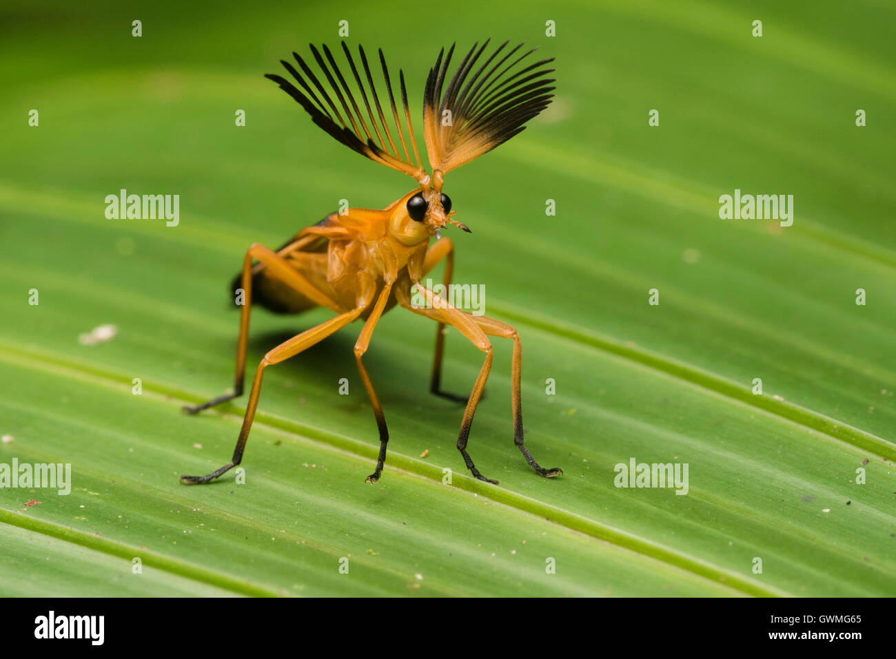 An adult Phengodid beetle displaying its impressive antennae in the Peruvian jungle. - Stock Image