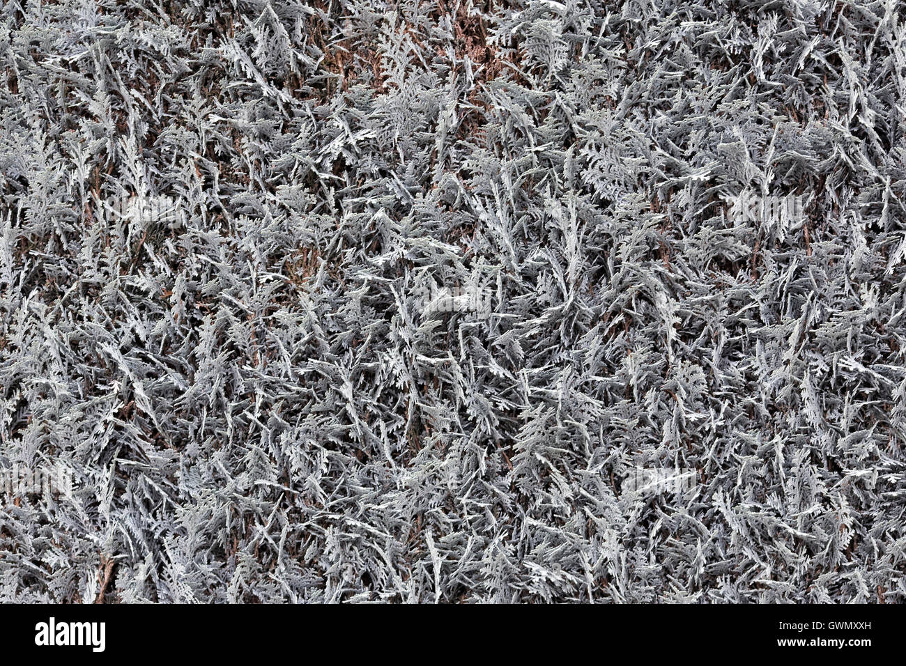 Silver grey hedge texture. - Stock Image