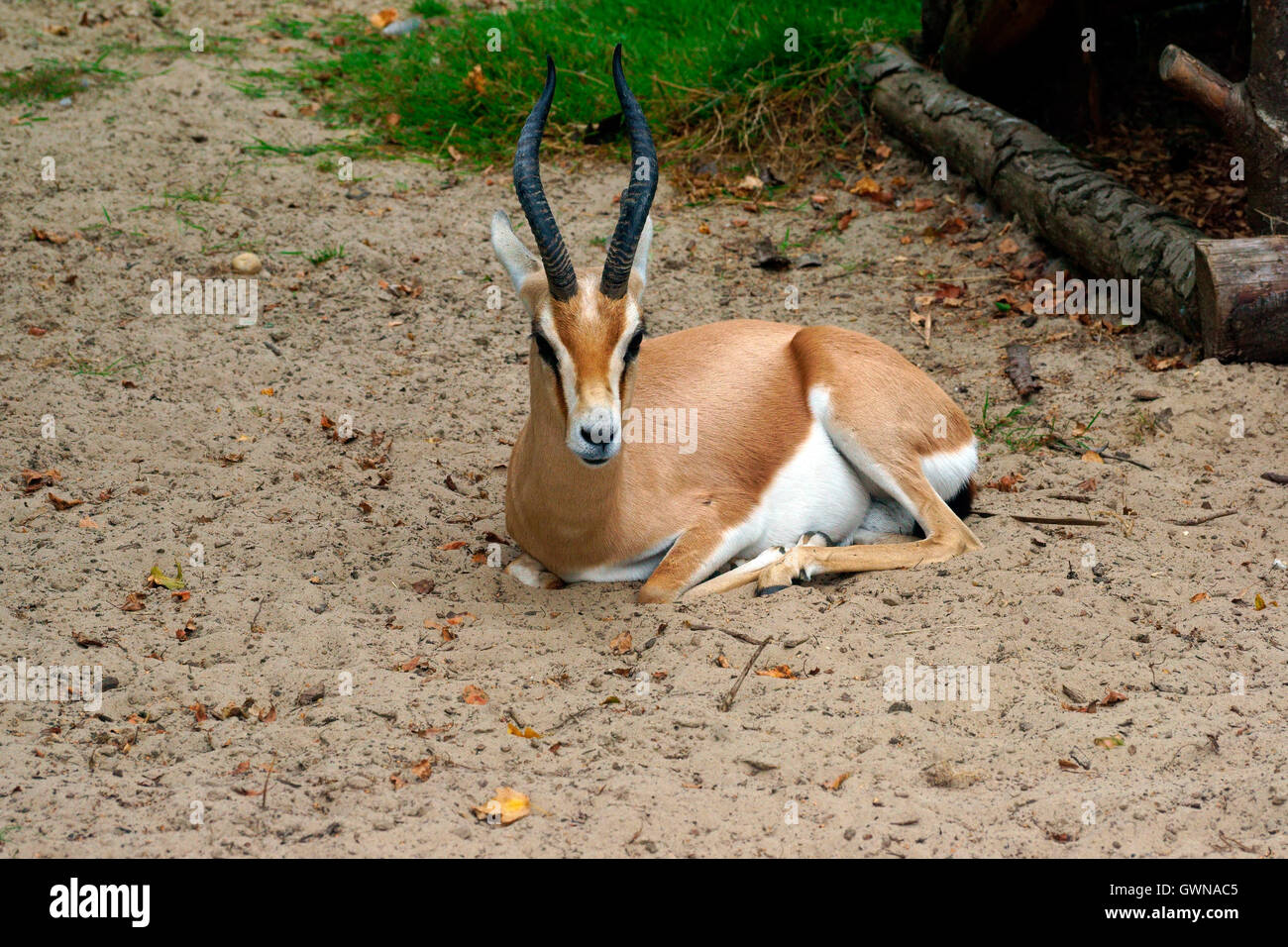 DORCAS GAZELLE RESTING Stock Photo
