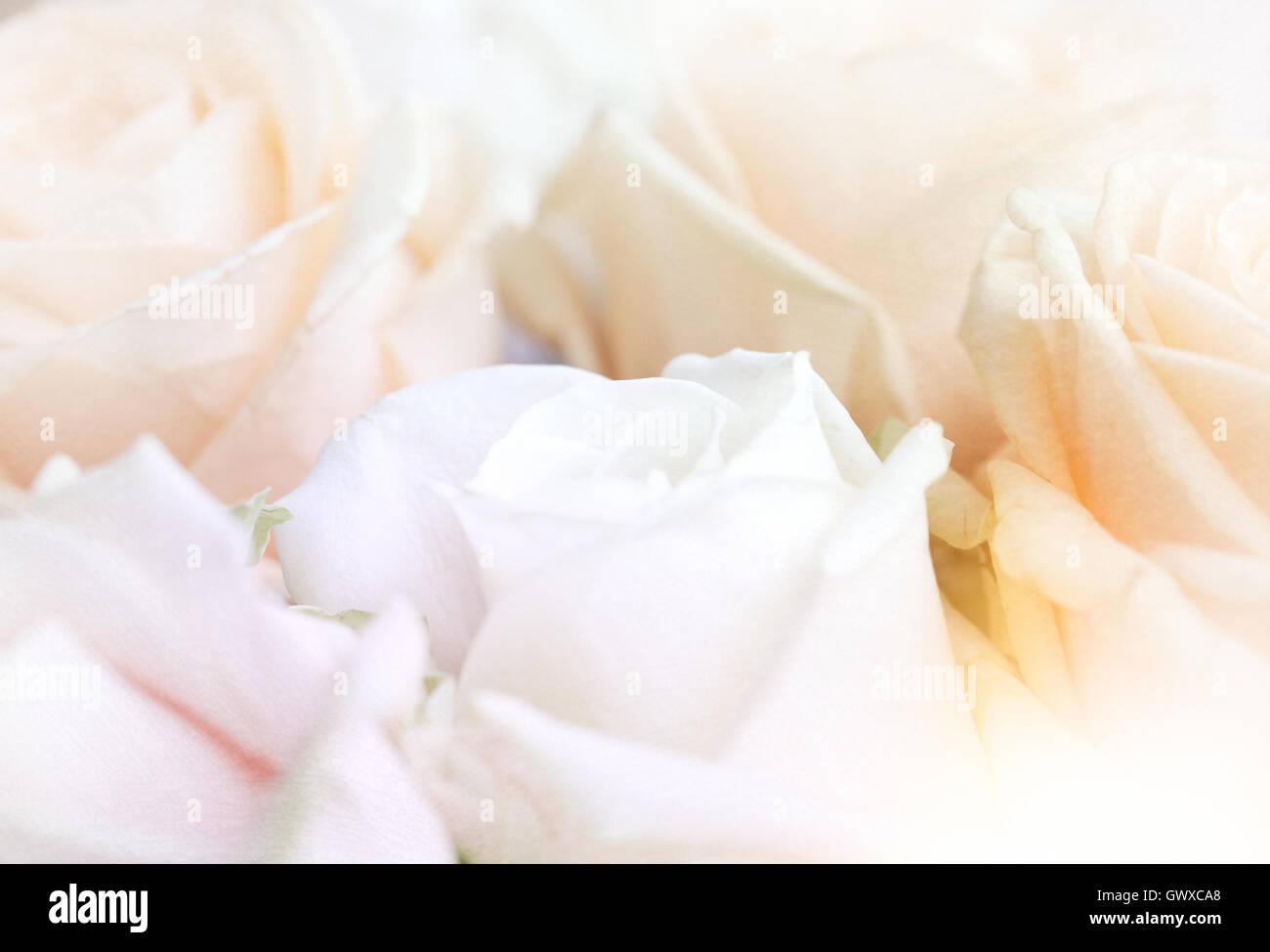 pink rose macro close up love romantic girly - Stock Image