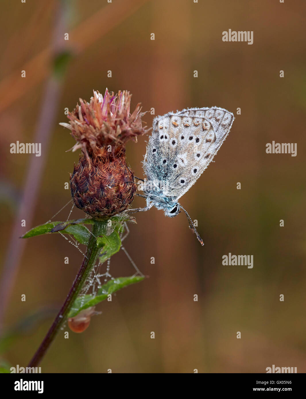 Dew-covered Chalkhill Blue male roosting on knapweed at dawn. Denbies Hillside, Ranmore Common, Surrey, England. Stock Photo