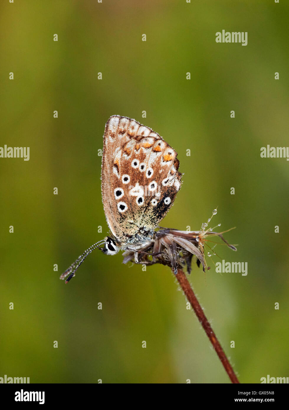 Dew-covered Adonis Blue female roosting at dawn. Denbies Hillside, Ranmore Common, Surrey, England. - Stock Image