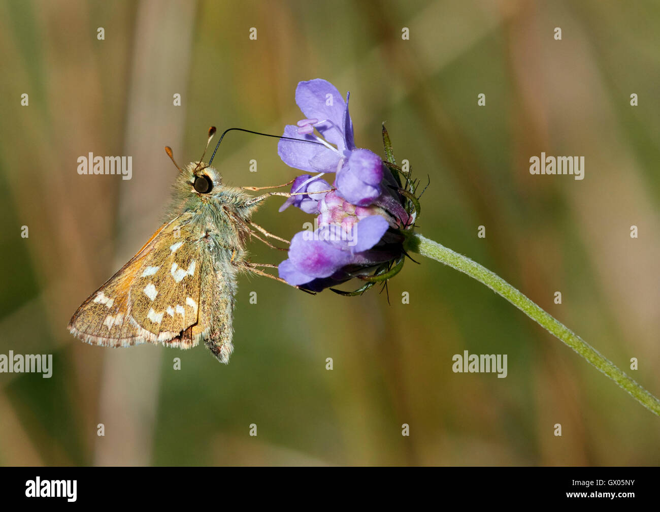Silver-spotted Skipper nectaring on scabious flower. Denbies Hillside, Ranmore Common, Surrey, England. - Stock Image