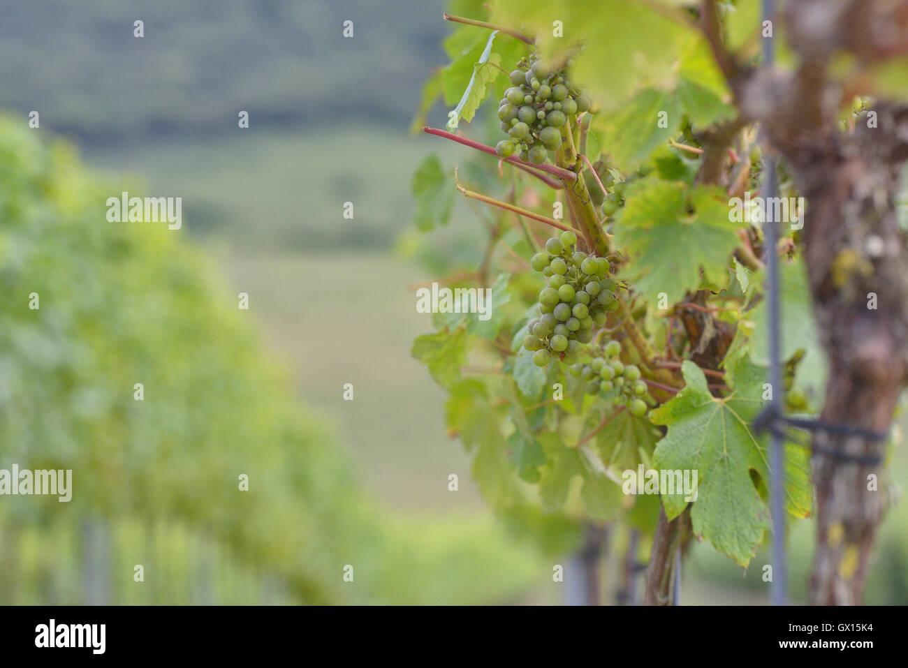 Rathfinny wine estate. Alfriston. East Sussex. England' UK - Stock Image