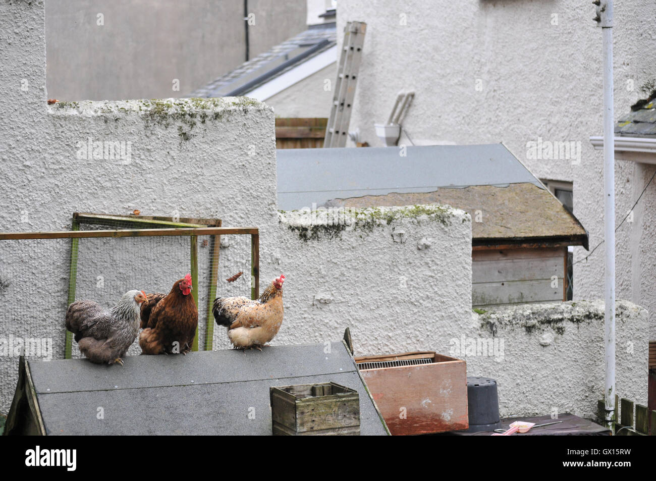 Chickens kept in the back garden of a house in Falmouth, Cornwall - Stock Image