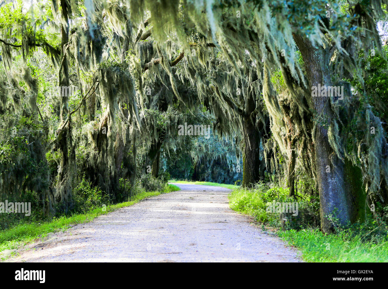 Road With Trees Overhanging With Spanish Moss In Southern Usa Stock Photo Alamy