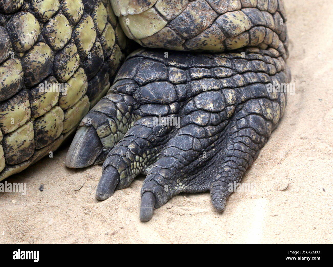 Hind claw of an African Nile crocodile (Crocodylus niloticus)  in closeup - Stock Image