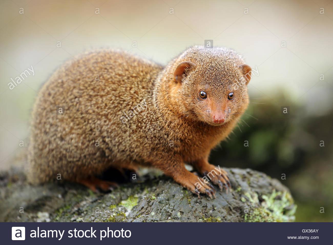 Pygmy Mongoose sitting on a rock. - Stock Image