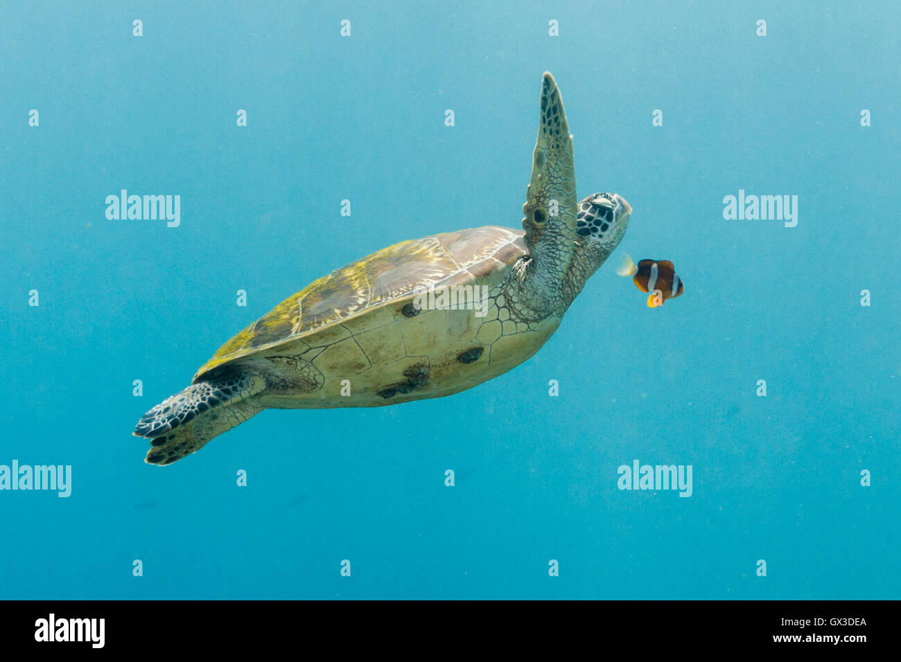 Apo island, Philippines.  15th September 2016.  In a scene straight out of Finding Nemo this Green turtle seems - Stock Image