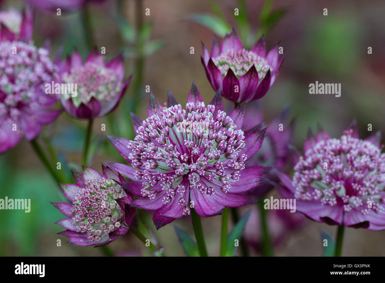 Red pincushion flowers of the hardy perennial masterwort, Astrantia major 'Moulin Rouge' - Stock Image