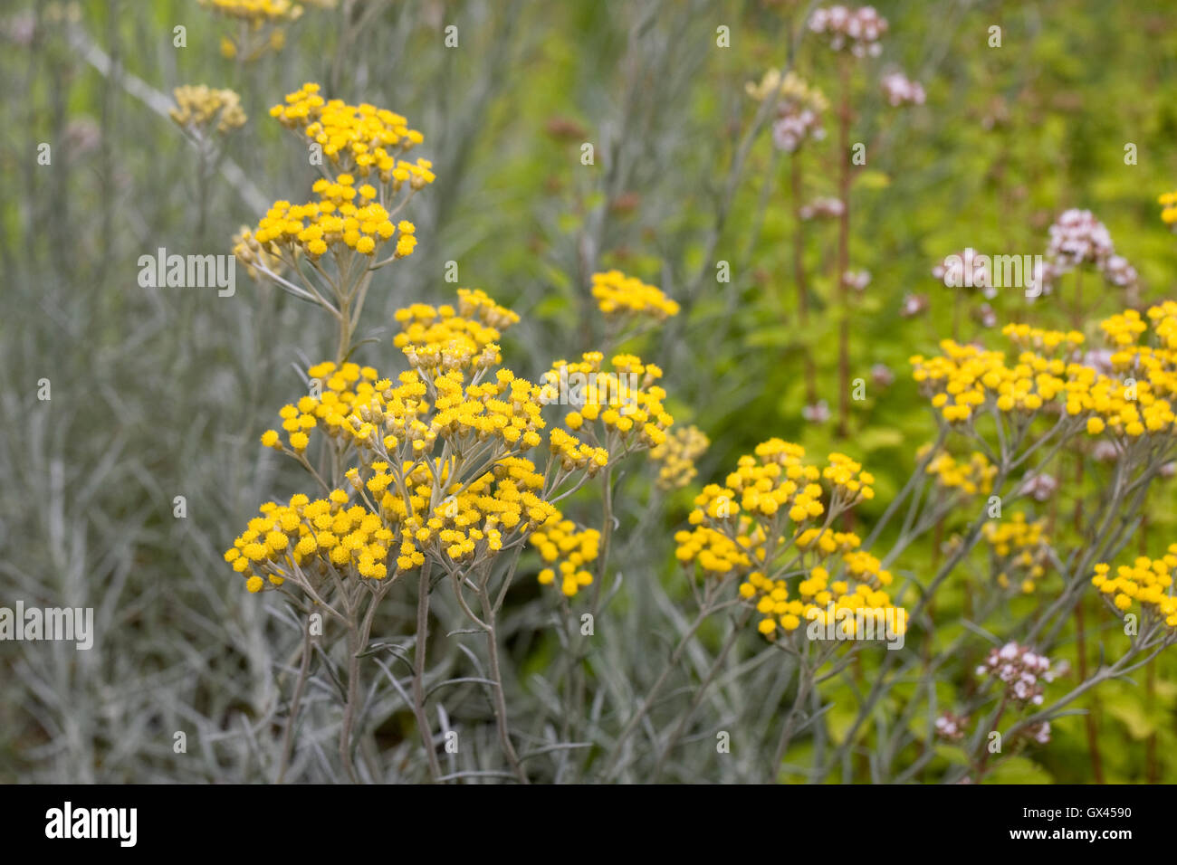 Helichrysum italicum flowers. - Stock Image