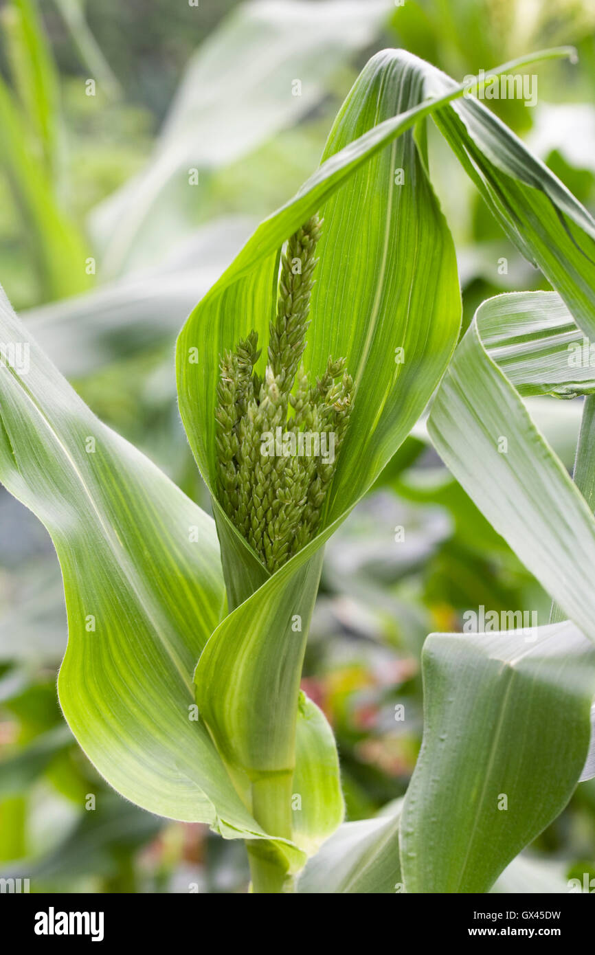 Zea mays. Male flowers on maize plant. - Stock Image
