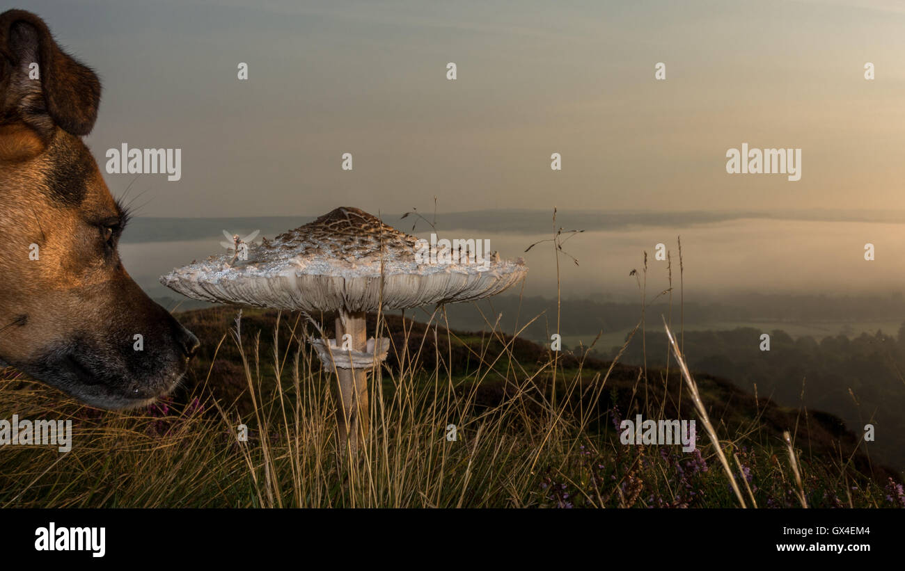 Dog looking at fairy sitting on a toadstool, overlooking the magical scene of a cloud inversion, Yorkshire, UK - Stock Image