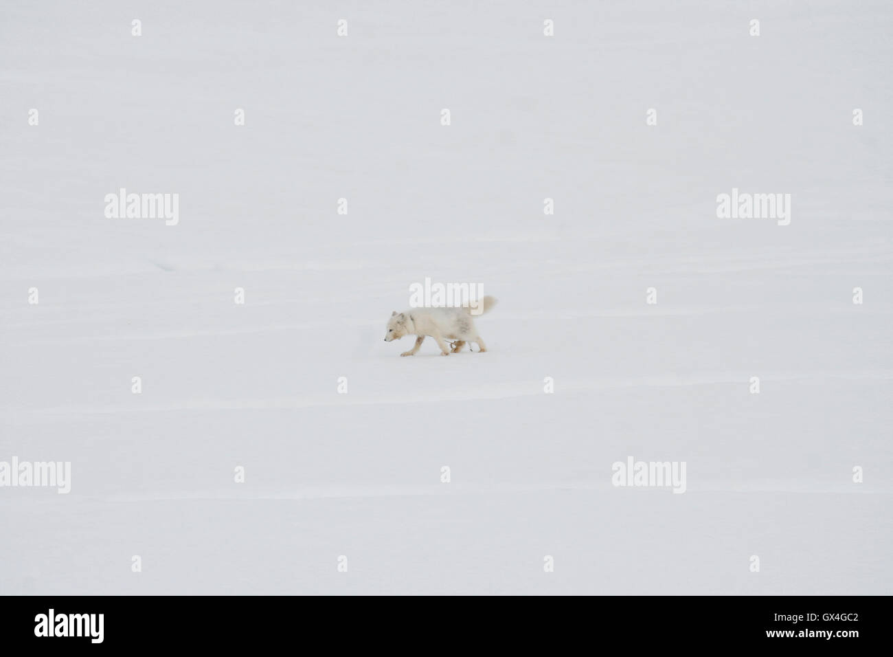 Arctic fox tangly up with rope , Vulpes lagopus, Kulusuk. Greenland. - Stock Image