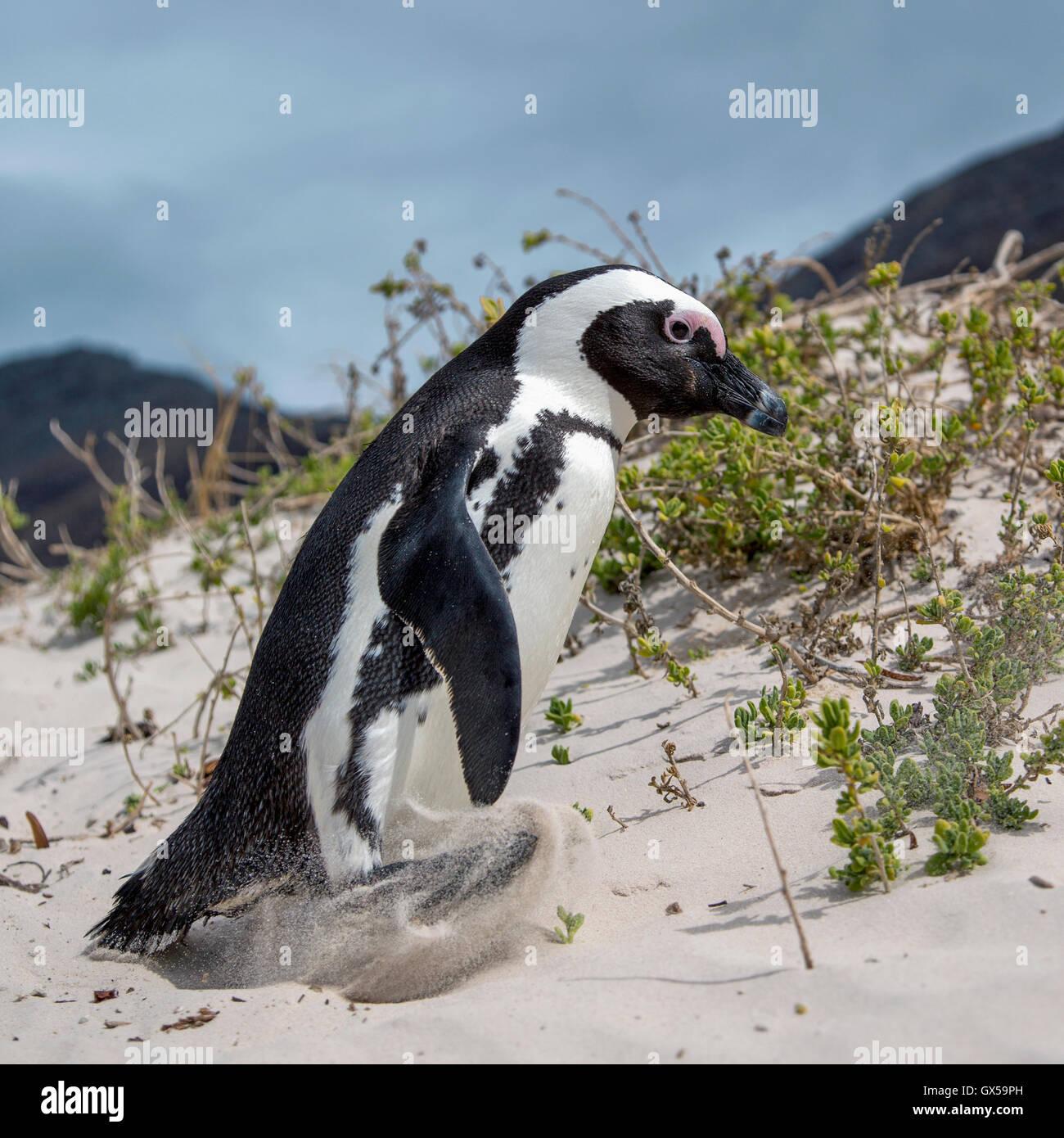 An African Penguin walking along the beach at Boulder Beach, South Africa - Stock Image