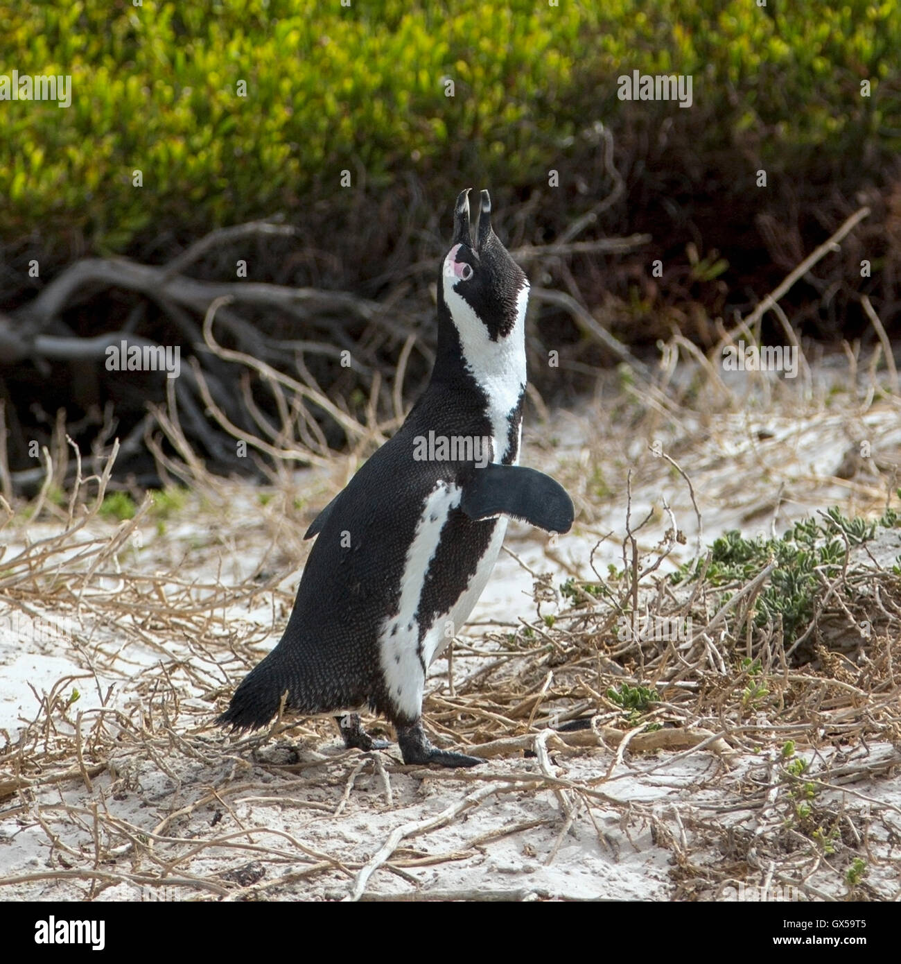An African Penguin walking along the beach in Boulder Beach, South Africa - Stock Image