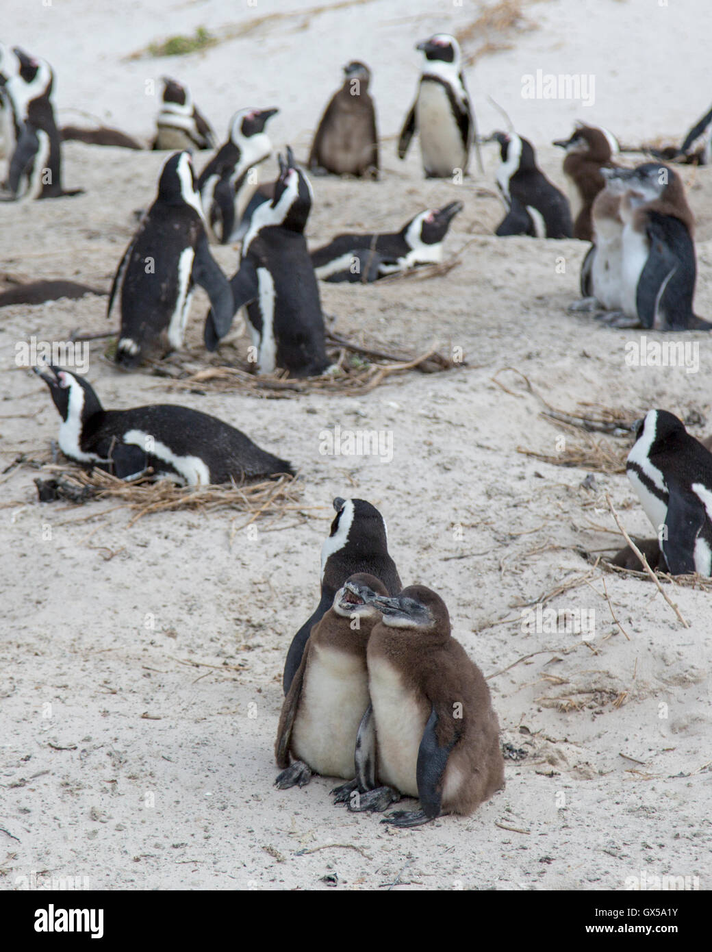 Penguin colony with nesting penguins and two baby penguins at Boulder Beach, South Africa - Stock Image