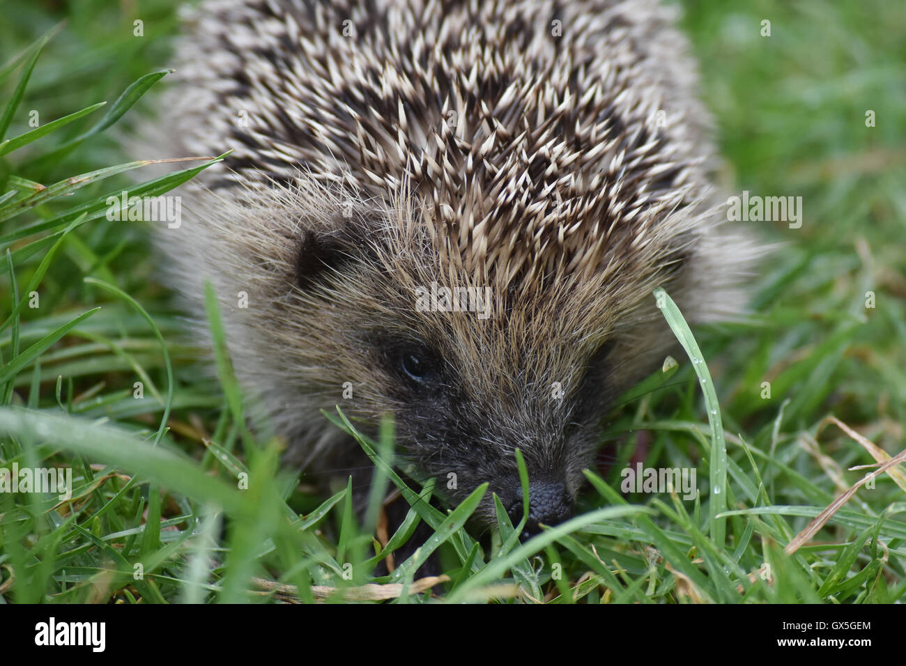 Face detail of European hedgehog - Stock Image