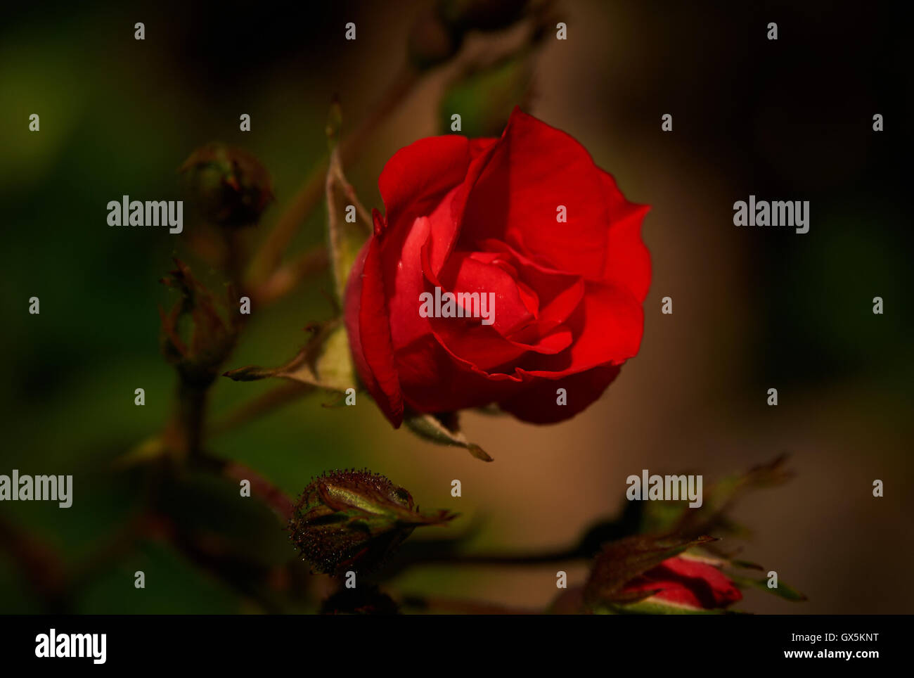 Red rose...striking deep red rose beautifully lit and dramatically photographed. great lighting, dark background, - Stock Image