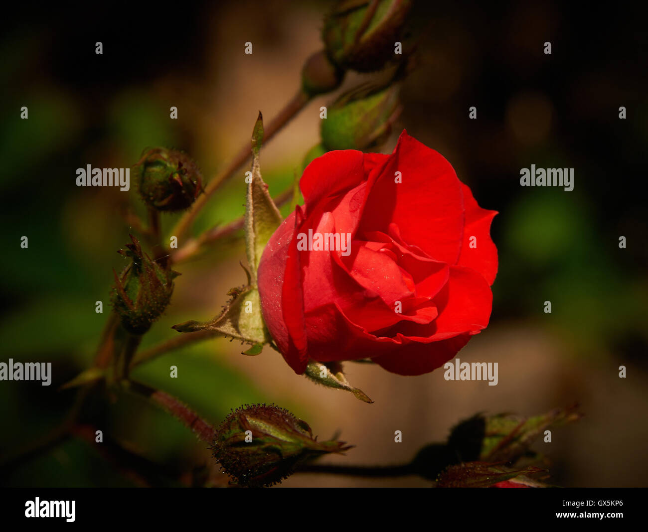 Red rose...striking deep red rose beautifully lit and dramatically photographed - Stock Image