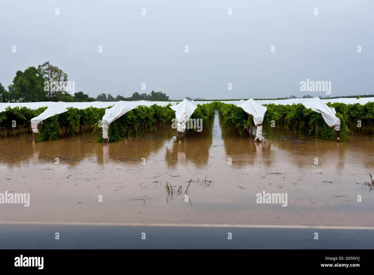 Unseasonal heavy rains cause flooding in low lying vineyards, Mildura, February 2011. - Stock Image