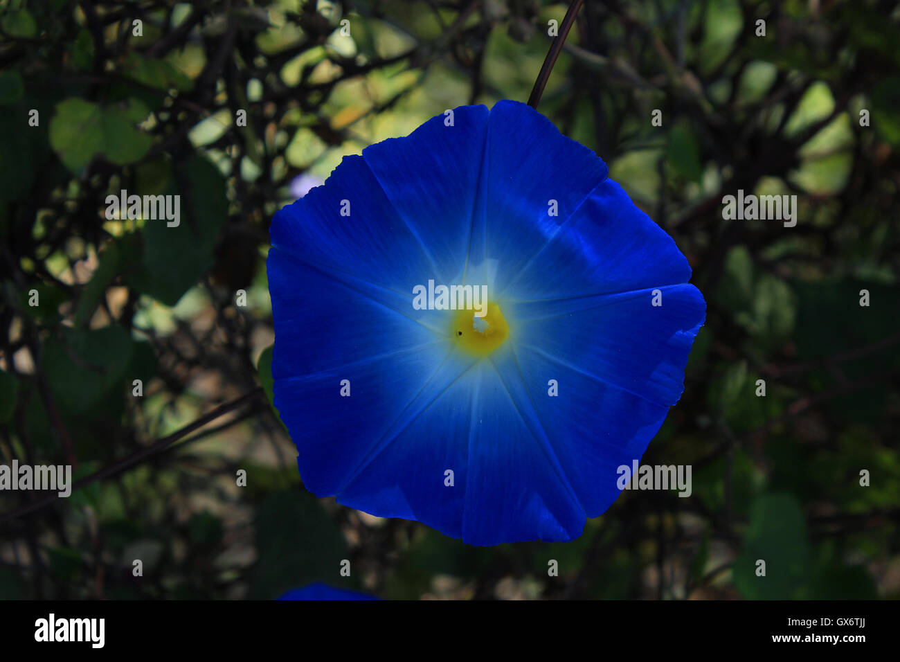 A colorful blue flower with a yellow center blooming on the branch a colorful blue flower with a yellow center blooming on the branch of a bush in a garden in cotacachi ecuador mightylinksfo